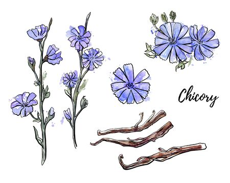 Vector botanical illustration Chicory. Hand drawn branch, flower and root of a healthy coffee substitute plant. Black ink outline and isolated sketchy watercolor texture with splashes and drips.