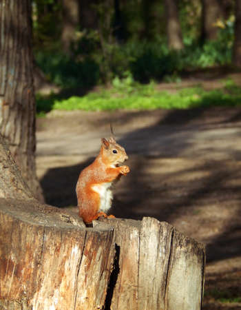fluffy tuft: squirrel sitting on an old stump in the park