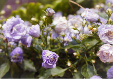 withering: delicate purple flowers, touched withering