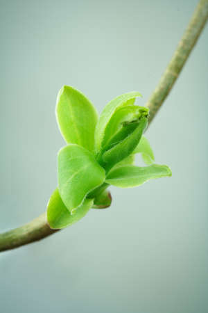space for text: spring bud with leaves with space for text Stock Photo