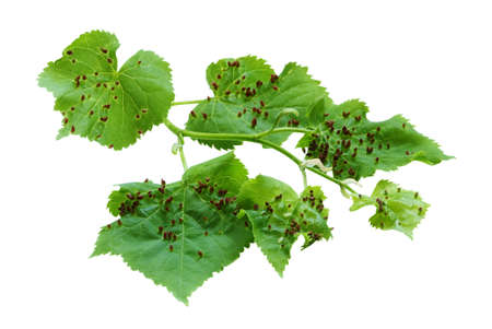 affected: linden branch with leaves affected Lime nail gall - Eriophyes tiliae. isolate Stock Photo