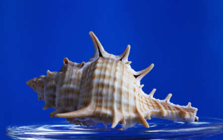 murex shell: sea ??shell with spikes on a bright blue background Stock Photo