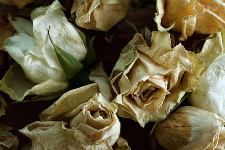 wilting: white dry withered roses retro style, concept of death Stock Photo