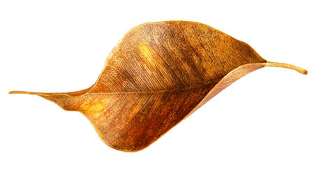dry twisted autumn leaf,  isolated on white background