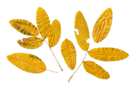dry autumn leaves of rowan  isolated on a white background