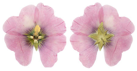 Dried pink mallow flower ( alcea rosea)  front and back, isolate on a white background Stock Photo