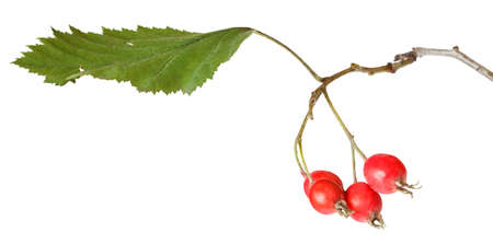 hawthorn branch with berries and leaves, fluttering in the wind isolated on white background