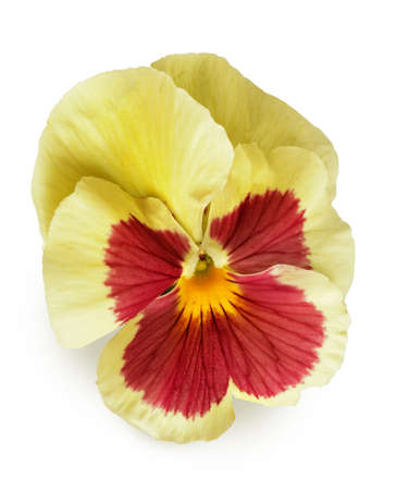 Pansy flower isolated on white background Stock Photo