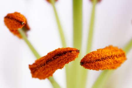 Flower stamens lily macro
