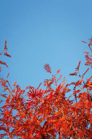 sorb: Autumn leaves of rowan against the background of a cloudless sky with a copy of space Stock Photo