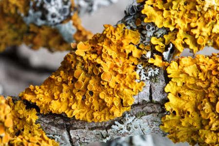 Yellow lichen, xanthoria parietina, on dry branch of fruit tree, macro Stock Photo