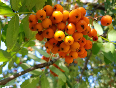 Orange berries of mountain ash on a tree branch