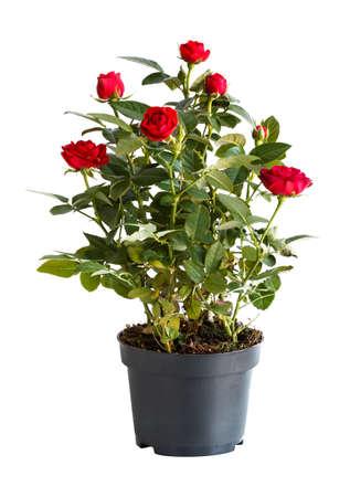 Indoor-Rose in einem Blumentopf isoliert auf weißem Hintergrund, Seitenansicht