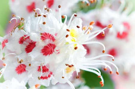 chestnut bloom, spring white flowers macro