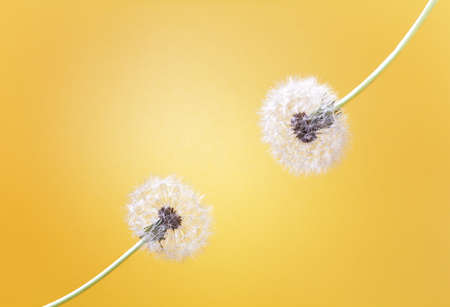 two fluffy dandelions on a bright yellow background with space for text