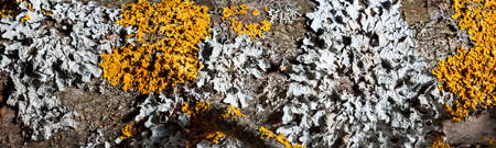 lichens, parmelia and xanthoria parietina on the bark of a tree, macro panorama Stock fotó