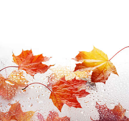 autumn maple leaves with drops of water on a white background with place for text
