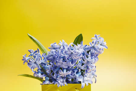 blue flowers hyacinths in a bright paper bag on a yellow background Archivio Fotografico