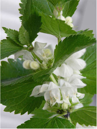 deadnettle blooming white flowers 免版税图像