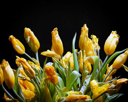 Bouquet of wilted tulips on a black