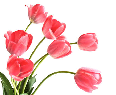Bouquet of bright pink tulips isolated on white