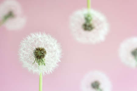 head of faded dandelion on a delicate pink background