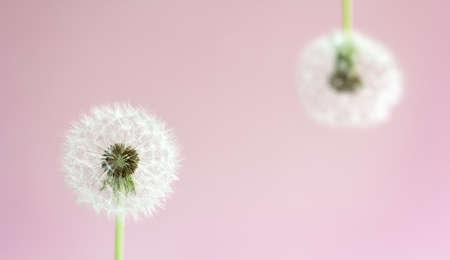 Faded dandelion on a delicate pink 免版税图像 - 147023260