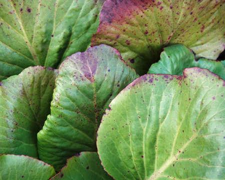 leaves of Bergenia crassifolia as background