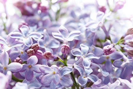 lilac flowers macro, spring background