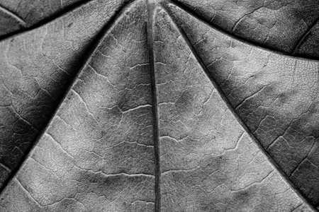 dry maple leaf monochrome macro 免版税图像