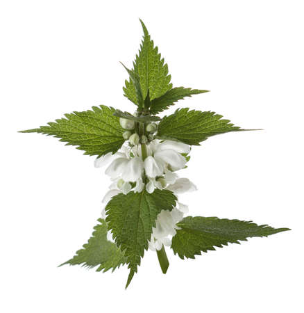 nettle branch with flowers, isolated on white 免版税图像 - 147614357