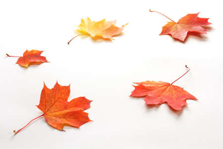 bright autumn maple leaves on a white background 免版税图像 - 149163498