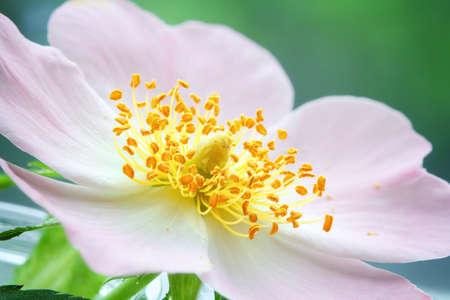 delicate pink rosehip flower with stamens, macro