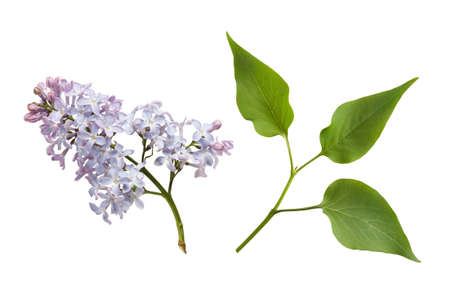 lilac flower and leaves isolated on white background