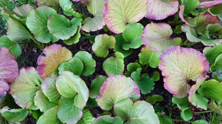 leaves of Bergenia crassifolia growing in the garden