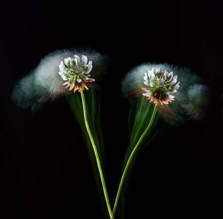 stylish poster with wild meadow flower white clover on a black background, fantasy motion effect long exposure
