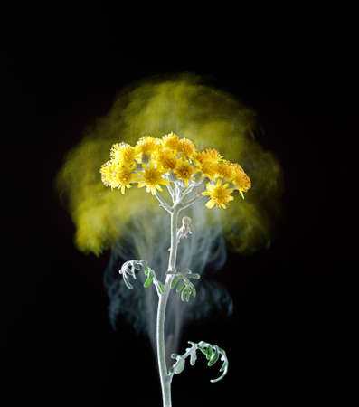 stylish poster with Cineraria groundwort senecio flowers on a black background, fantasy motion effect long exposure 免版税图像