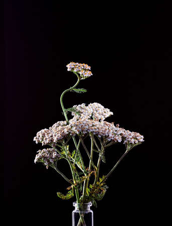 white common yarrow, Achillea millefolium flowers on a black background, medicinal plant