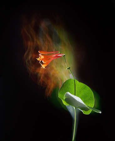 stylish poster with flower campsis on a black background, fantasy motion effect long exposure