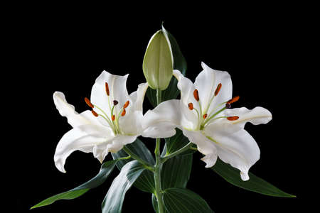 two white Lily flowers on a black background 免版税图像