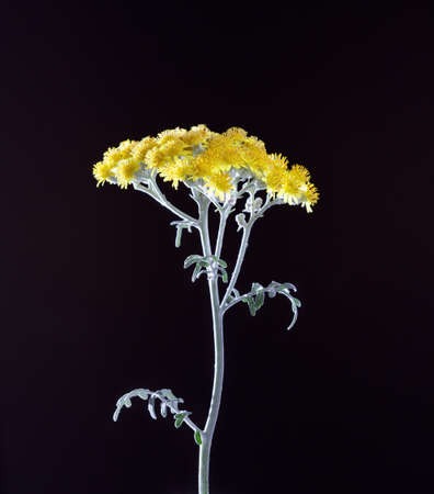 Cineraria groundwort senecio flowers on a black background 免版税图像 - 152170512