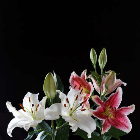 white and pink lily flowers on a black background, copy space 免版税图像