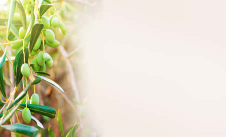 banner with green olives lit by the sun, growing on a tree, with copy space