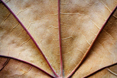 dry autumn leaf texture macro as background 免版税图像