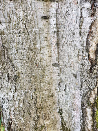 old birch bark texture background 免版税图像