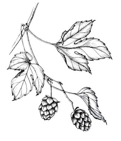 graphic ink hand draw sketch of a sprig of hops with leaves and cones