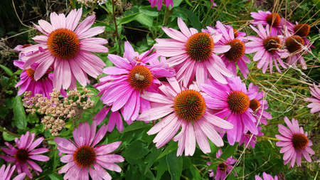 echinacea purpurea, coneflower blooming in the garden