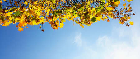 wide banner with bright autumn leaves on blue sky background 免版税图像
