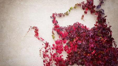 wild grapes with red autumn leaves crawling on a beige concrete wall 免版税图像