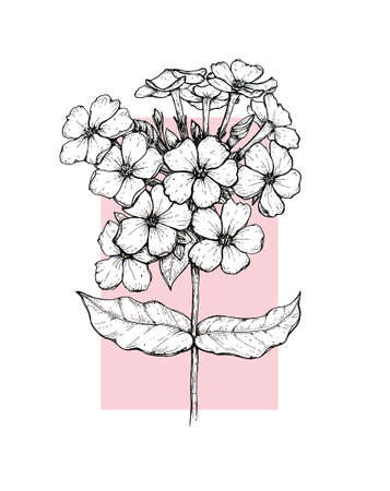 Hand drawing flower phlox, line-art on white background